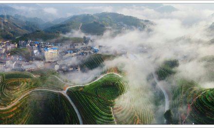 寿宁高山茶:老百姓喝得起的生态好茶